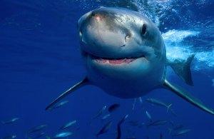 Tiburón entre peces