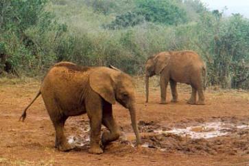 Un par de de elefantes jóvenes