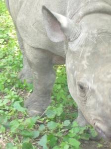 Rinoceronte de un mes