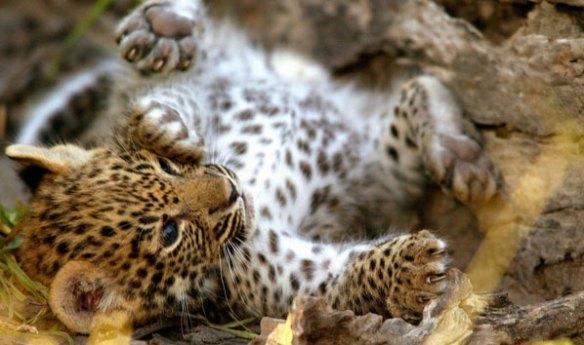 Cachorro de leopardo en Zambia