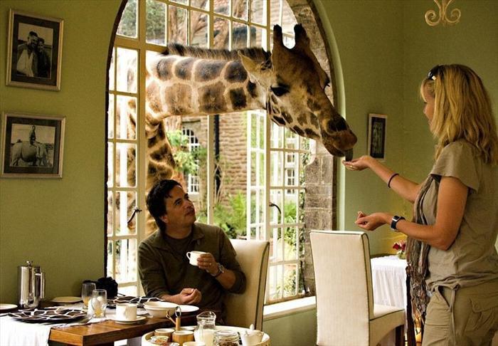 Desayuno con las jirafas Rothschild