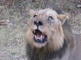 León en Sudáfrica