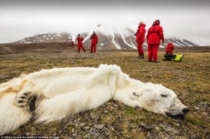 Oso polar muerto en Svalvard